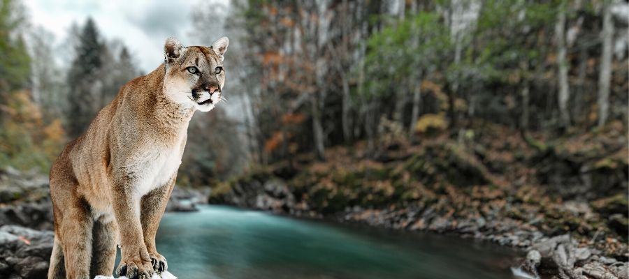 The Tale of the Mountain Lion